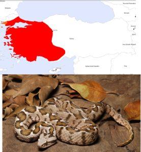 Osmanlı engerek